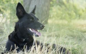 hyperkeratosis dog nose